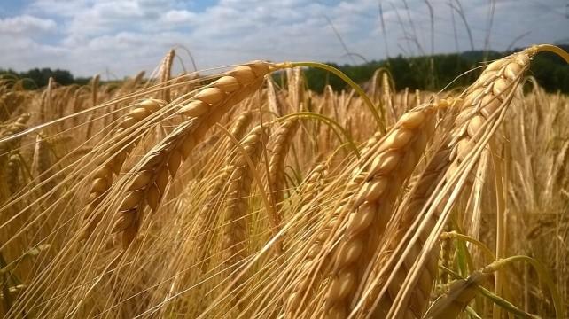 cereales-cosecha