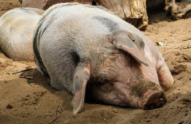 granja-cerdos