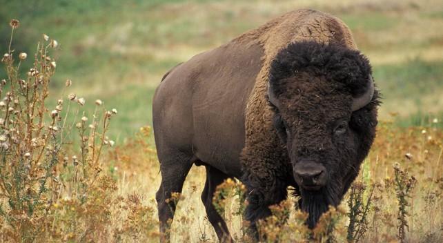 bisonte-americano