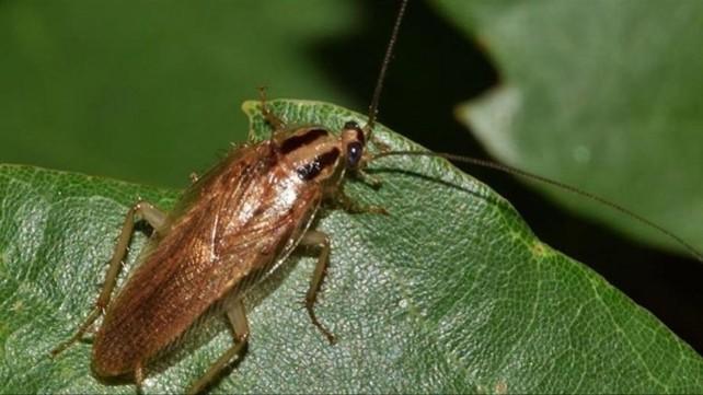 cucaracha-bichos