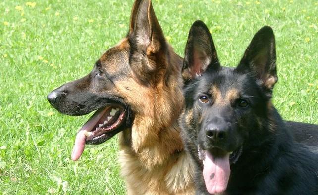perro-pastor-aleman